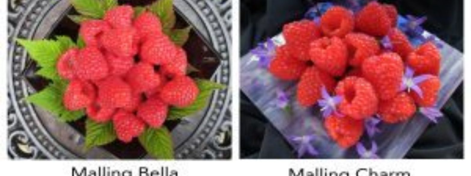 New raspberry varieties Malling Bella and Malling Charm